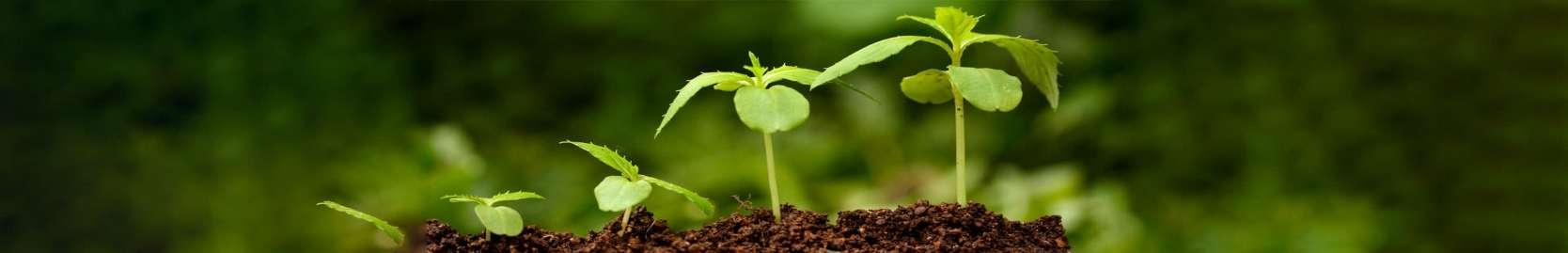 Seedlings growing in fresh soil.